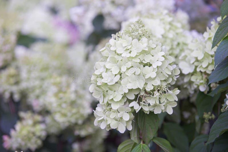 kwiatów hortensia menchie obrazy royalty free