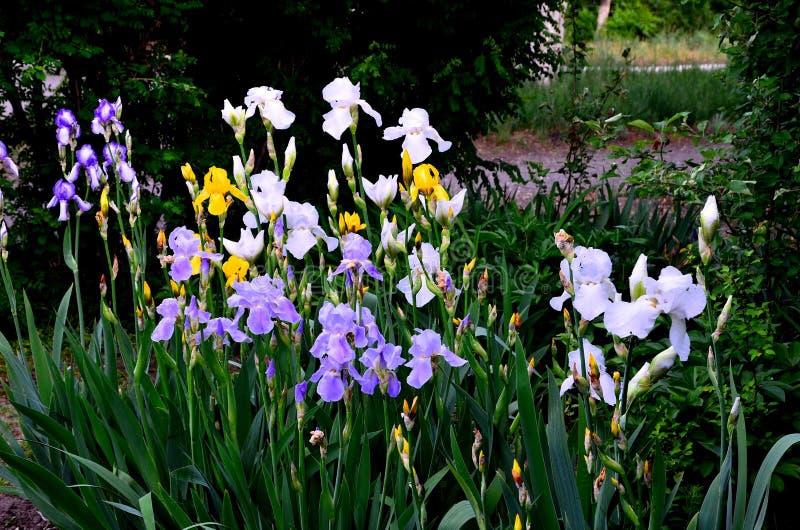 Kwiatów irysy kilka kwiaty r w cieniu krzaki zdjęcia royalty free