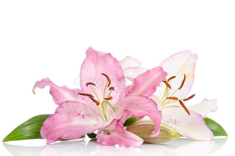 kwiatów lelui menchie dwa obraz royalty free