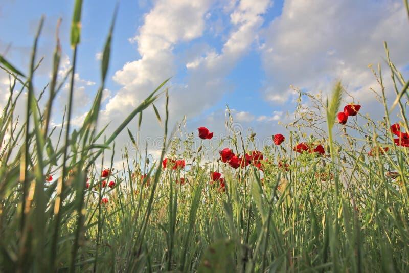 Kwiatów maczków Czerwony okwitnięcie w polu zdjęcie royalty free