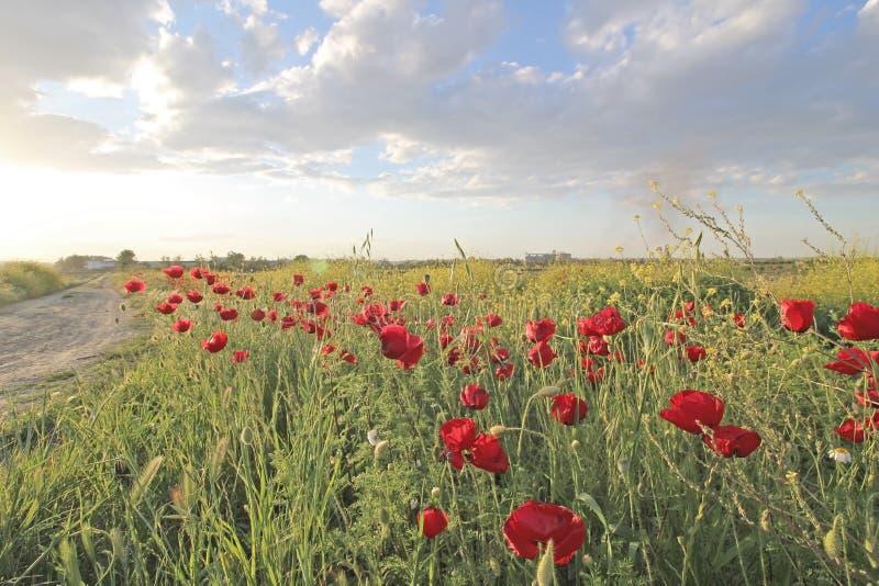 Kwiatów maczków Czerwony okwitnięcie w polu obrazy stock