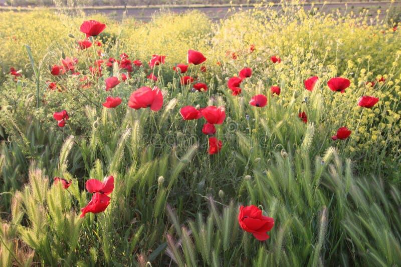 Kwiatów maczków Czerwony okwitnięcie w polu obraz royalty free