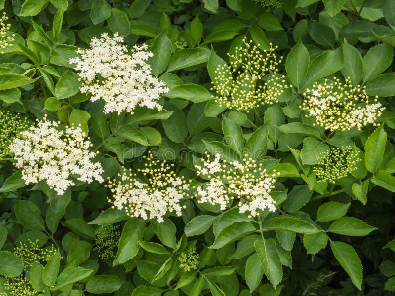 Kwiatów pączki i kwiaty Czarna starsza osoba zdjęcia royalty free