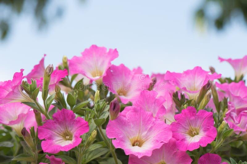 kwiatów petuni menchie fotografia royalty free