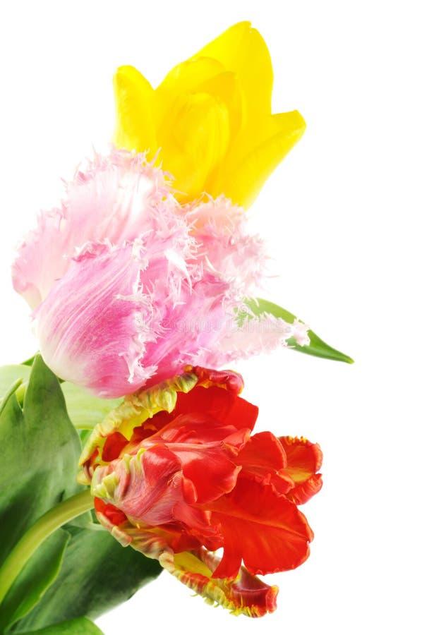 kwiatów piękni tulipany obrazy royalty free