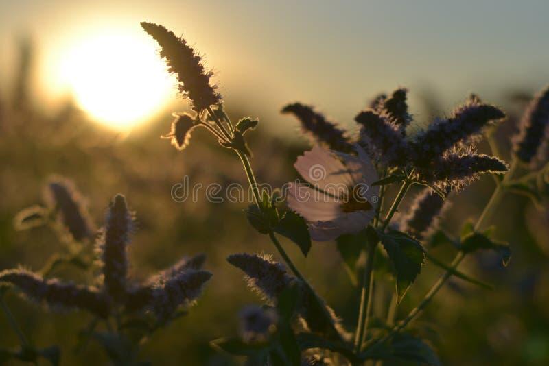 Kwiat łąka przy jutrzenkowymi błyskotliwość fotografia royalty free