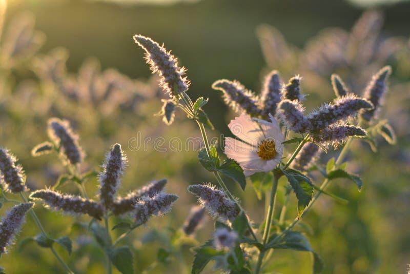 Kwiat łąka przy jutrzenkowymi błyskotliwość obrazy royalty free