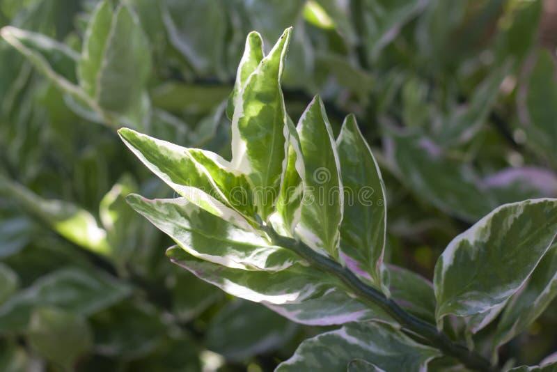 Kwiat ślimakowy, Kaktusy Redbird, Żyd-Bush, Zigzag Plant lub Euphorbia titymaloides to tajskie zioła obraz stock