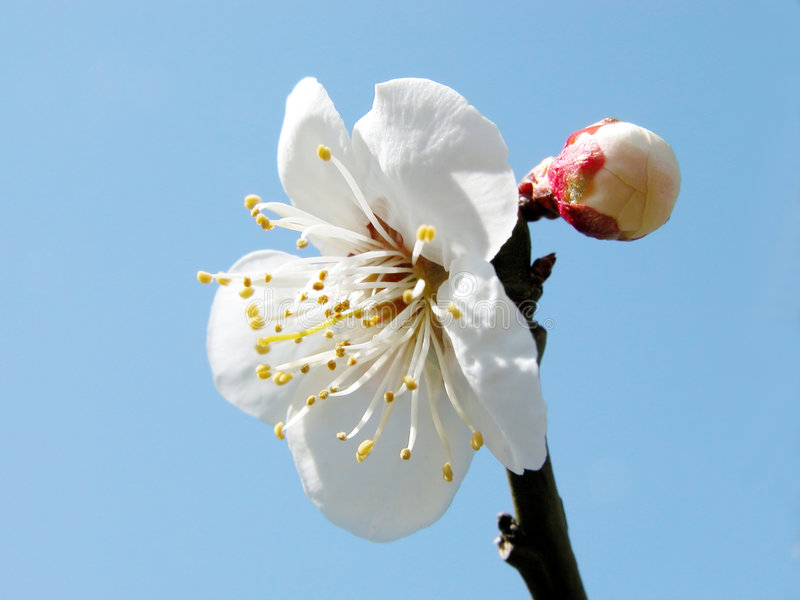 kwiat śliwki obraz royalty free