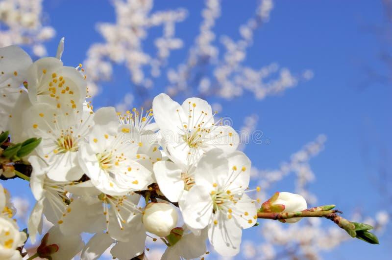 kwiat śliwkowy drzewo obrazy stock