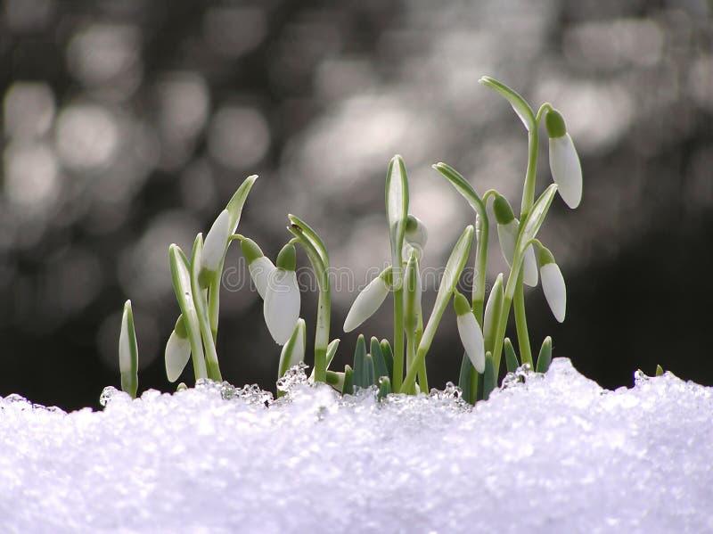 kwiat śnieżyczka fotografia royalty free