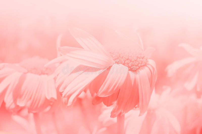 kwiat światła playnig tło Stokrotki różowy tło wietrznie pogody zdjęcie royalty free