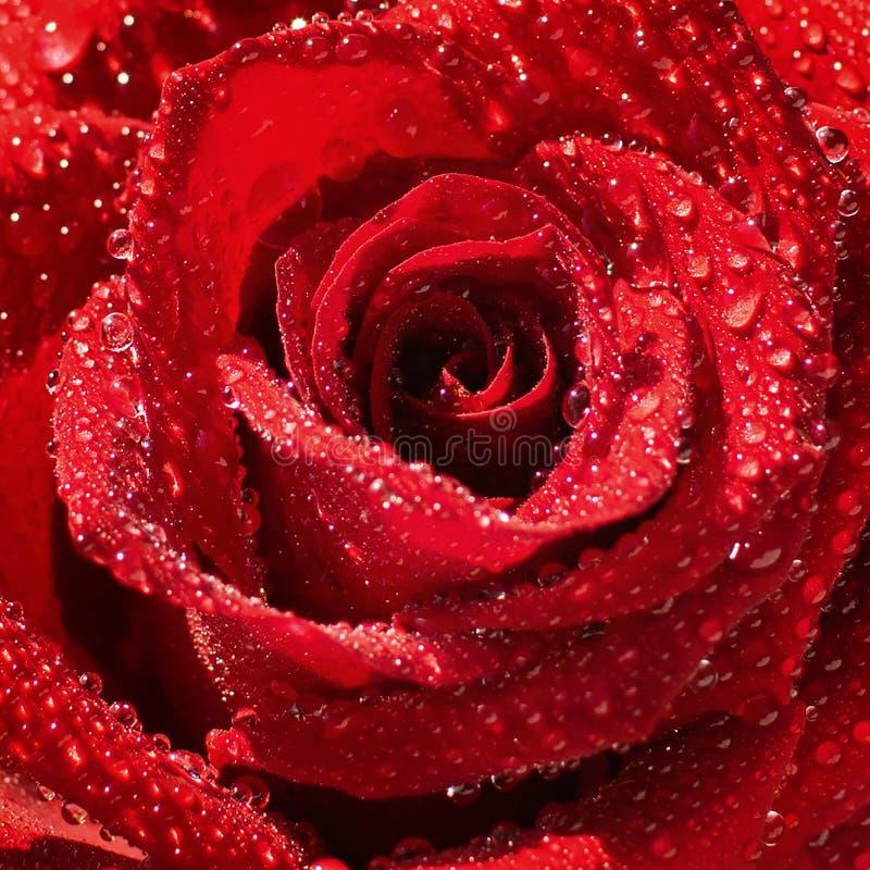 Kwiat świeża urocza czerwieni róża zakrywająca z dewdrops zbliżeniem Makro- Selekcyjna ostrość zdjęcia stock