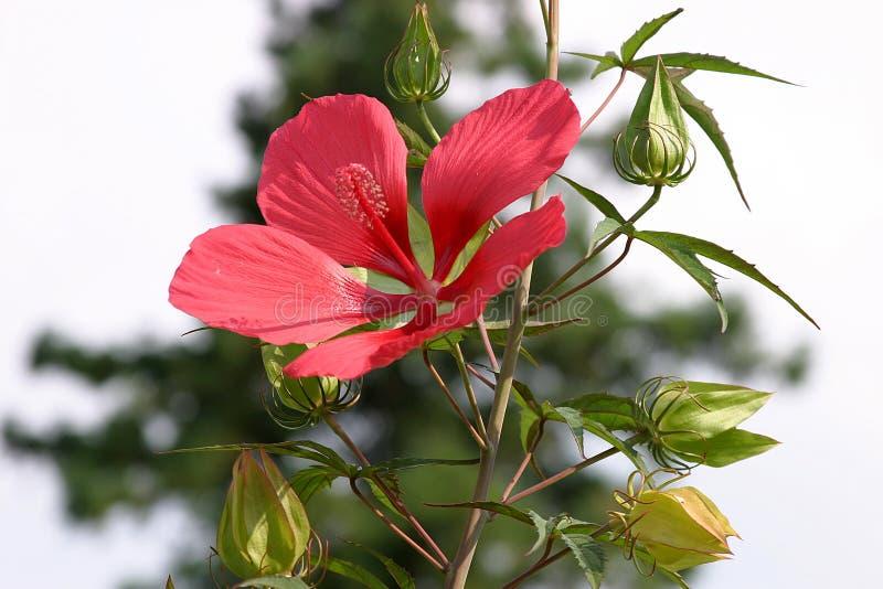 Download Kwiat zdjęcie stock. Obraz złożonej z czerwień, słońce, kwiat - 35170