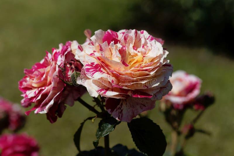 Kwiat abrakadabra wzrasta? obraz stock