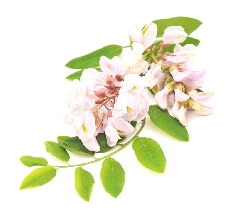 Kwiat akacja zdjęcie stock