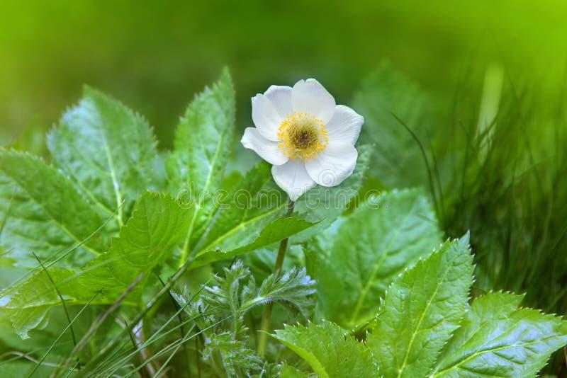 Kwiat Alpejski jaskier obraz royalty free
