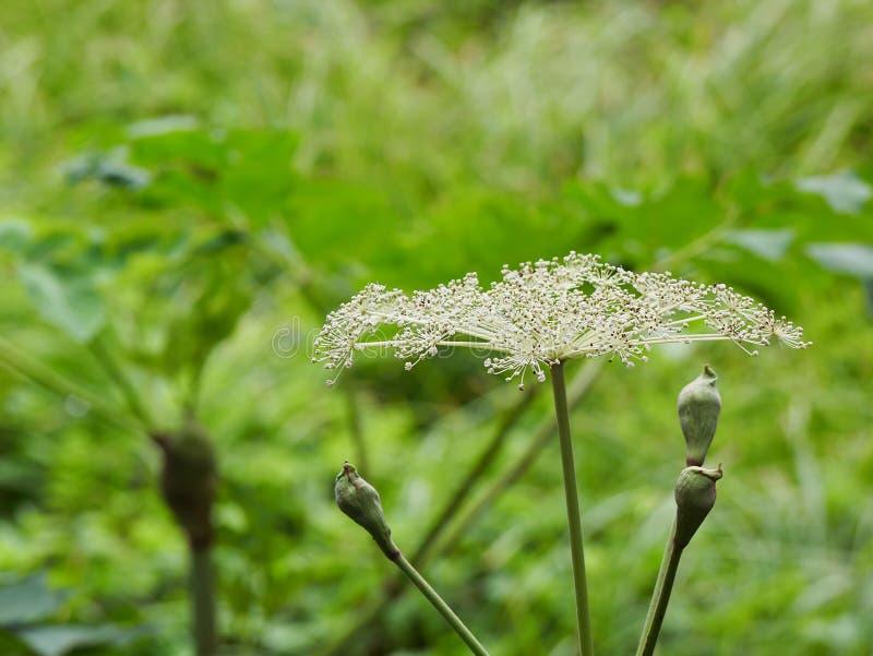 Kwiat arcydzięgiel obraz royalty free