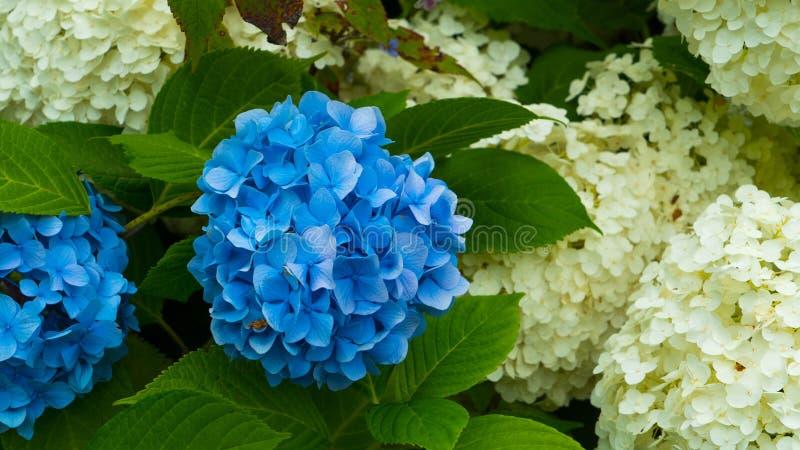 Kwiat błękitny hortensi zakończenie przeciw tłu biali kwiaty obraz royalty free