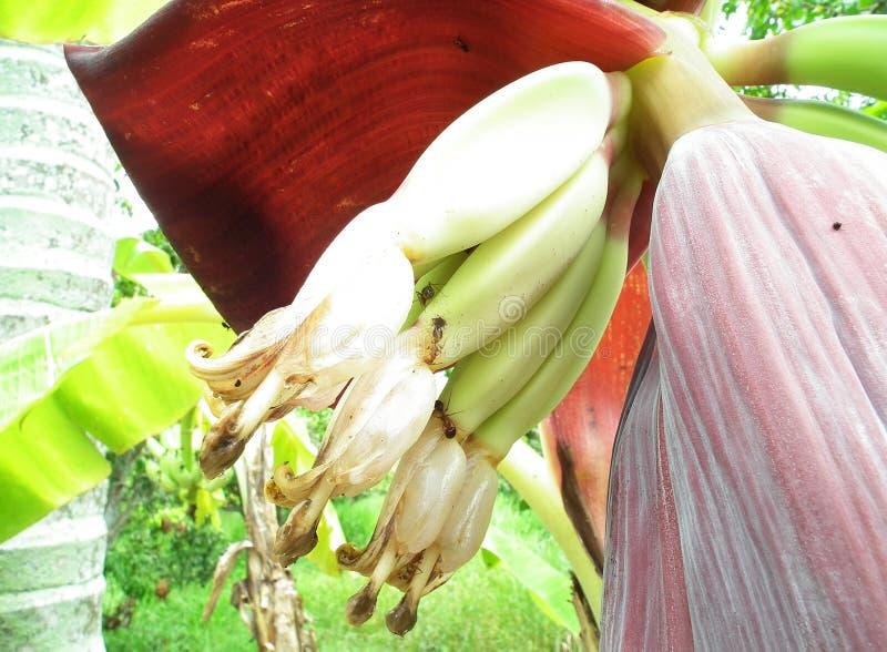 Kwiat banan jest zielarski Phetchaburi Tajlandia fotografia stock