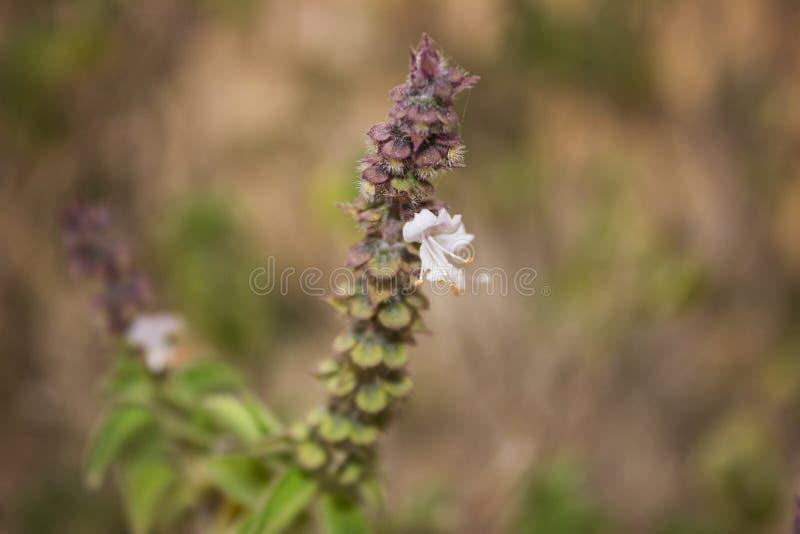 Kwiat basil obrazy stock