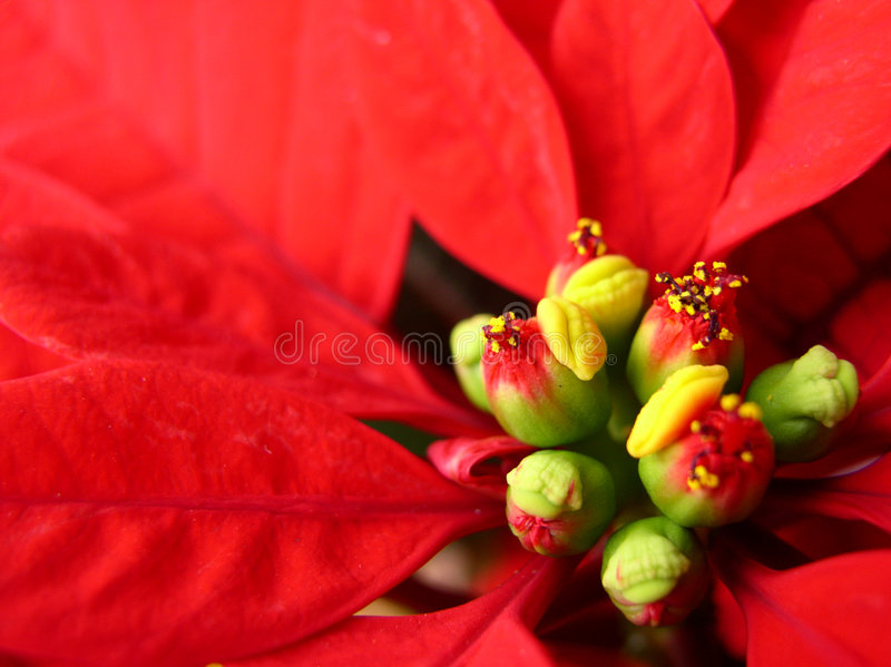 Download Kwiat bethlehem gwiazda zdjęcie stock. Obraz złożonej z 1 - 42474