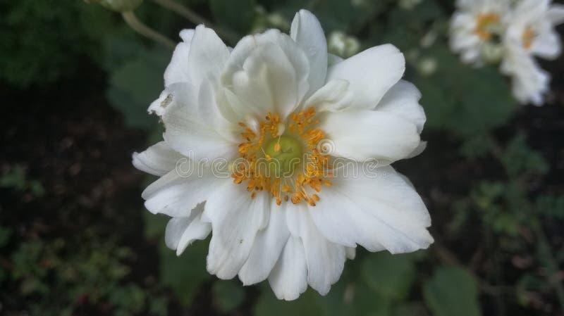 Kwiat biała bardzo ładna natura zdjęcia royalty free
