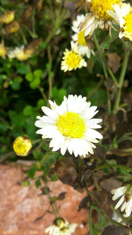 kwiat biel obraz stock