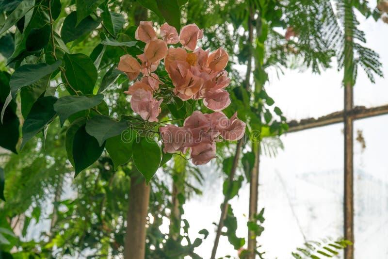 Kwiat bougainvillea w konserwatorium zdjęcie stock