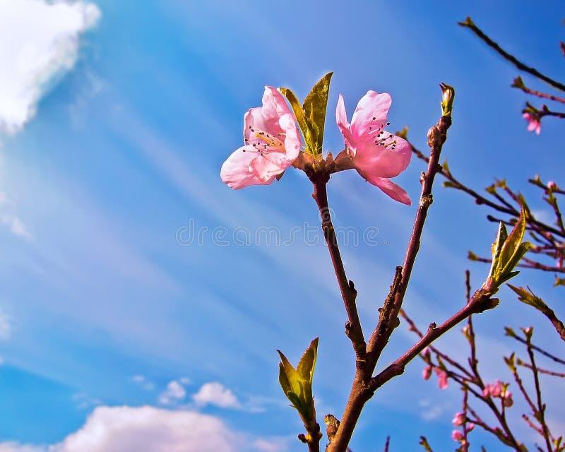 Kwiat brzoskwinia