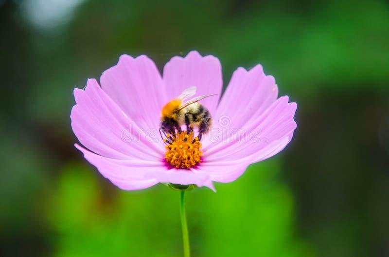 Kwiat Cósmos obrazy stock