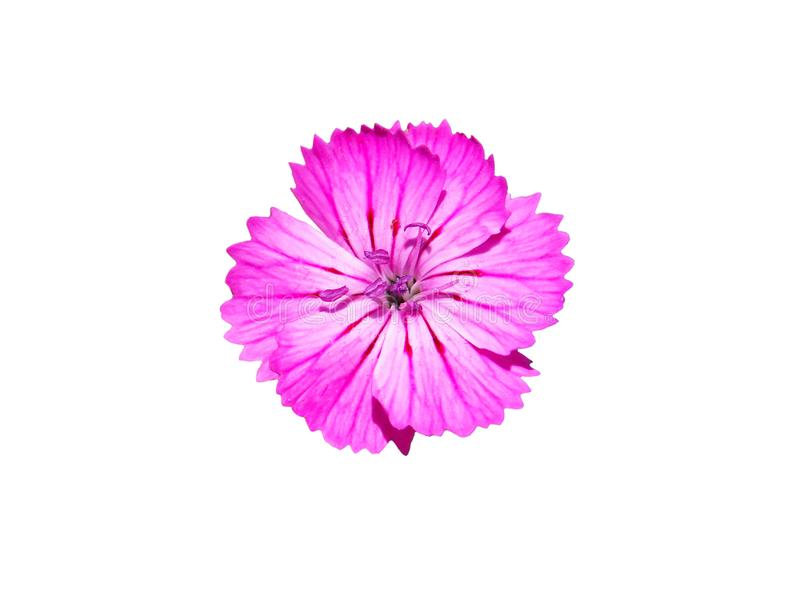 Kwiat carthusian menchie odizolowywać na bielu obraz stock