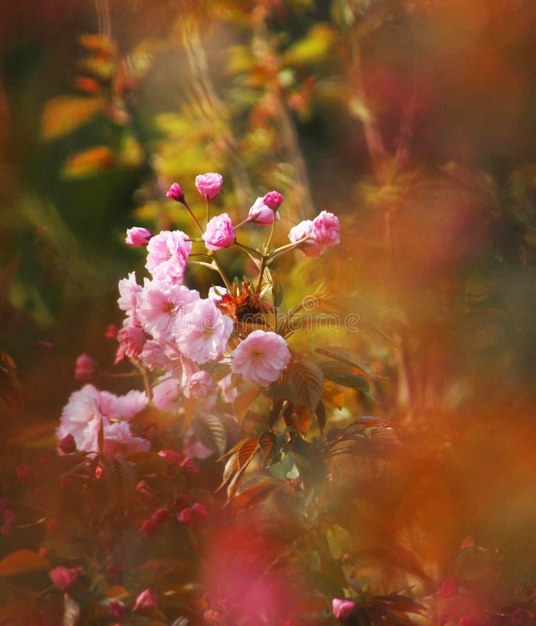 kwiat cherry wiosna kwiat zdjęcia royalty free