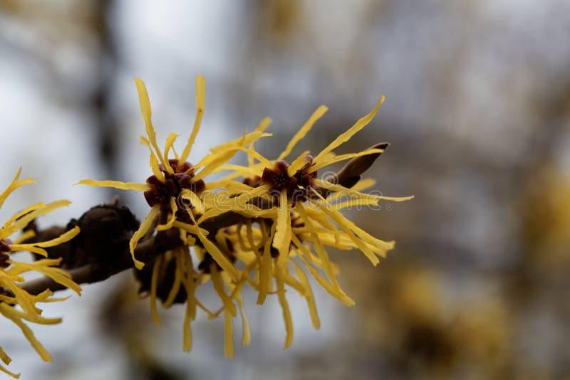 Kwiat Chińska czarownicy leszczyna obrazy royalty free