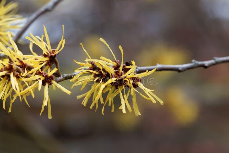 Kwiat Chińska czarownicy leszczyna obrazy stock