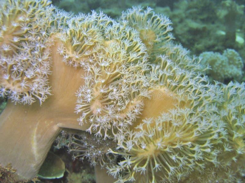 kwiat coral miękkie zdjęcia stock