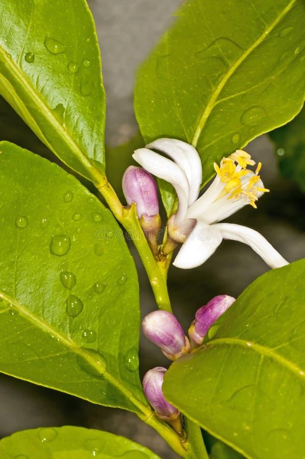 kwiat cytryna obrazy stock
