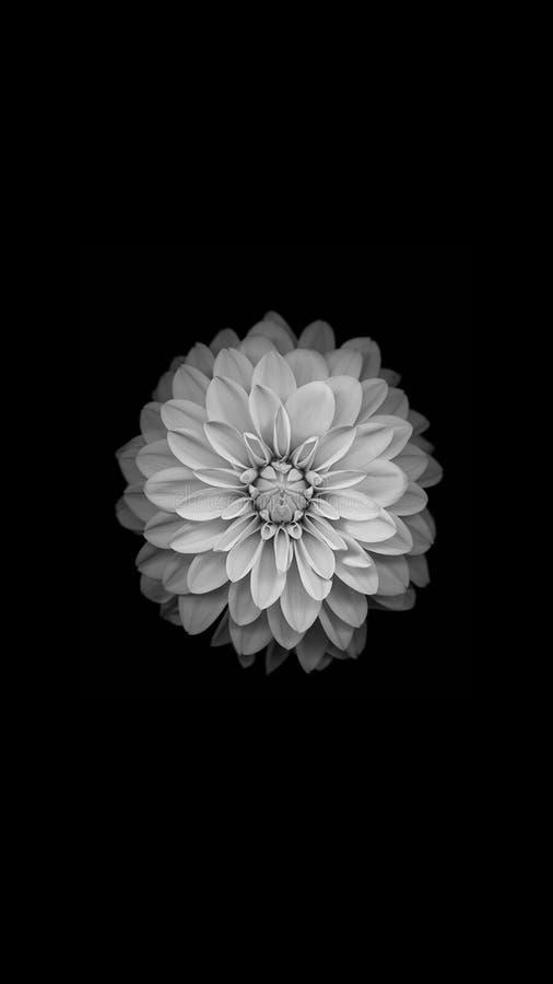 kwiat czarny i biały zdjęcie royalty free