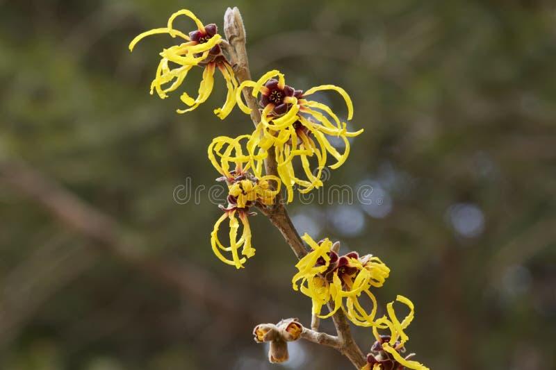 Kwiat czarownicy leszczyna w wczesnej wiośnie obrazy stock