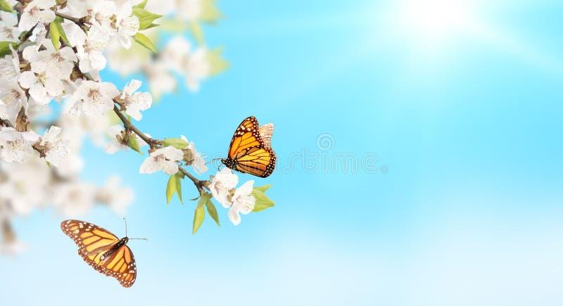 Kwiat czereśniowi i monarchiczni motyle na niebieskiego nieba pogodnym tle zdjęcie royalty free