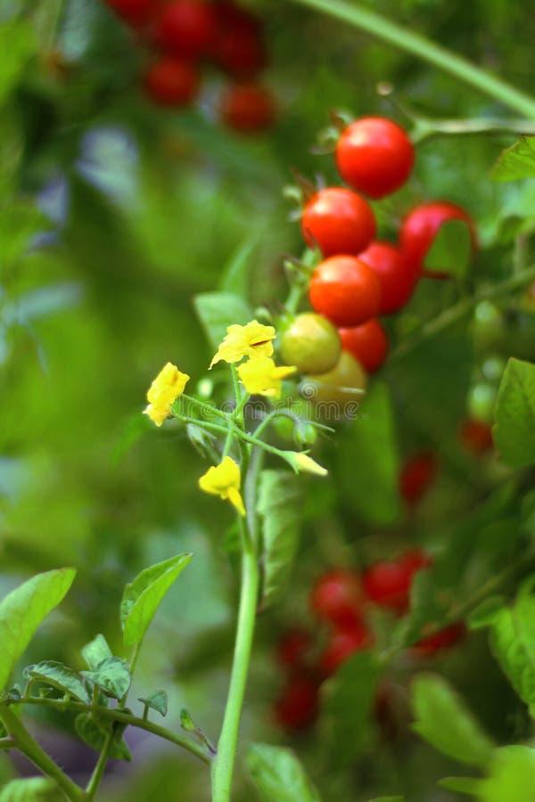 Kwiat czereśniowy pomidor zdjęcie royalty free