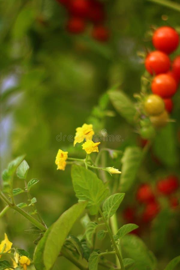 Kwiat czereśniowy pomidor zdjęcie stock