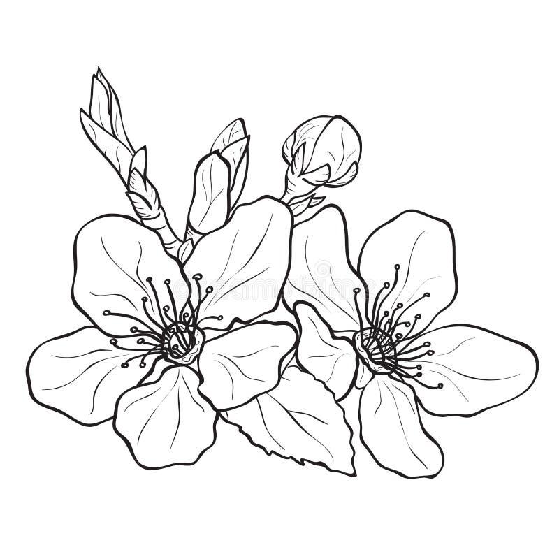 Kwiat - czereśniowych okwitnięć rysować ilustracja wektor