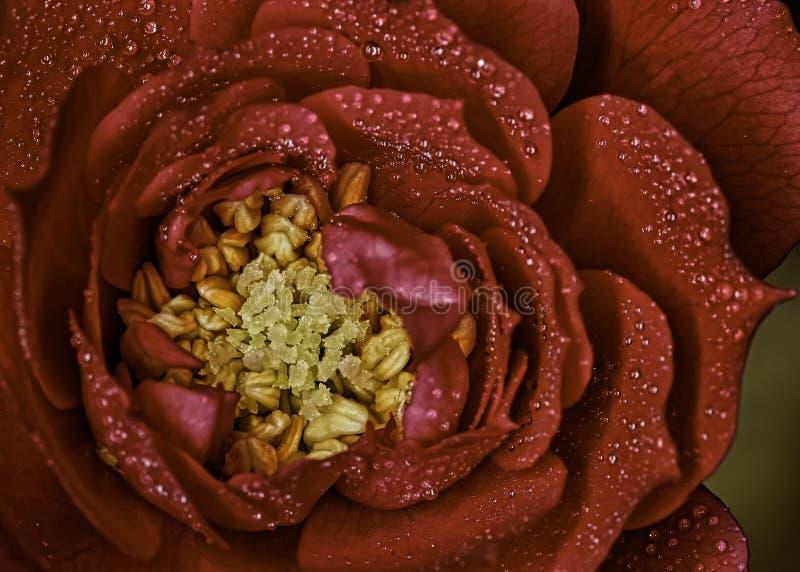 Kwiat czerwień z wodą opuszcza portret zdjęcie stock