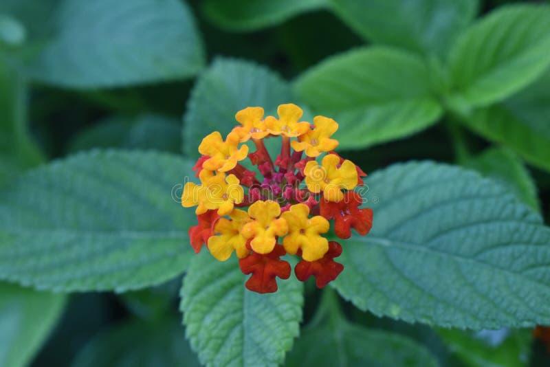 kwiat czerwonej żółty zdjęcie stock