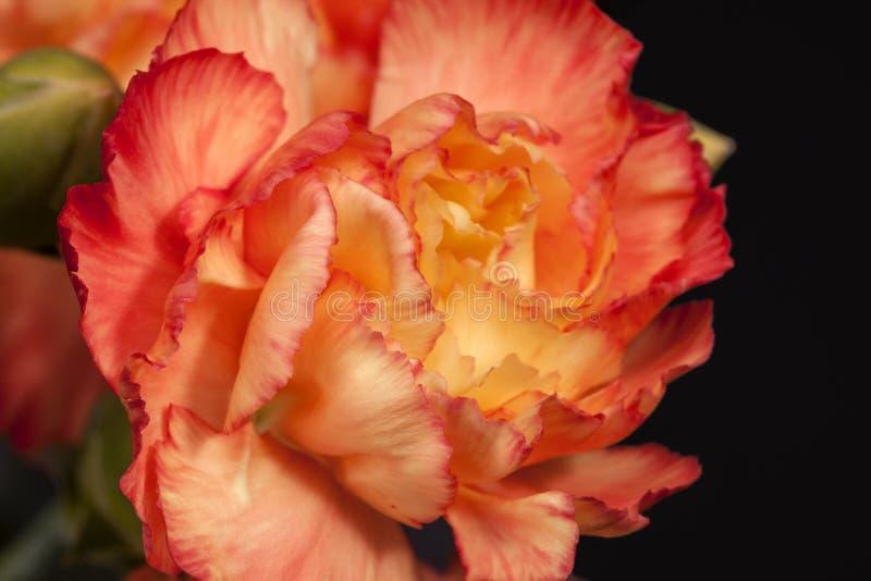 Kwiat czerwony goździka Dianthus caryophyllus na czarnym tle fotografia royalty free