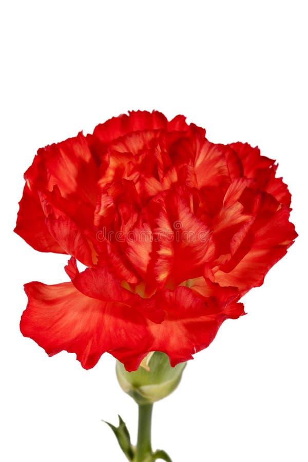 Kwiat czerwony goździka Dianthus caryophyllus odizolowywający na białym tle zdjęcia royalty free