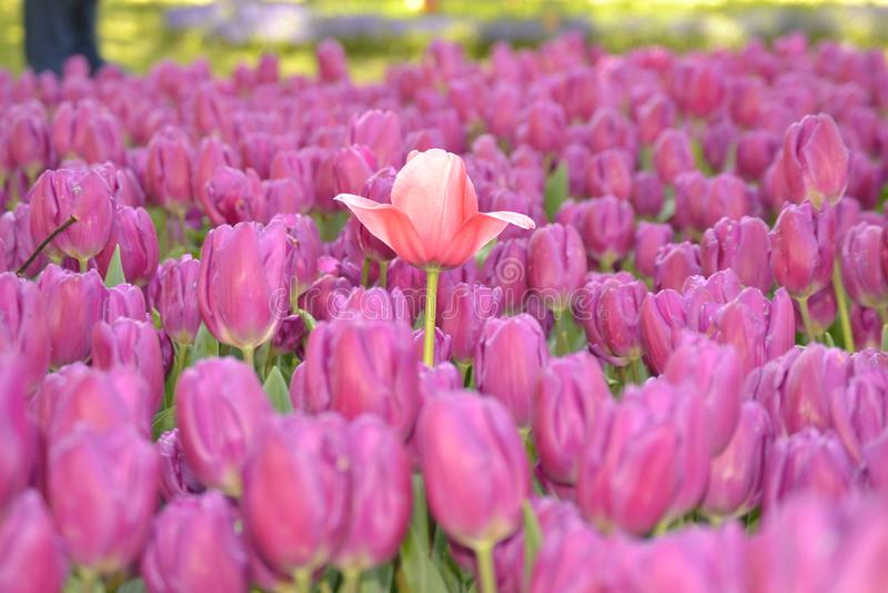 Kwiat, czerwony kwiat, tulipanowe kobiety fotografia royalty free
