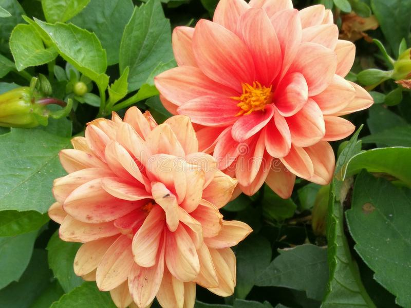 Kwiat czułość obrazy royalty free