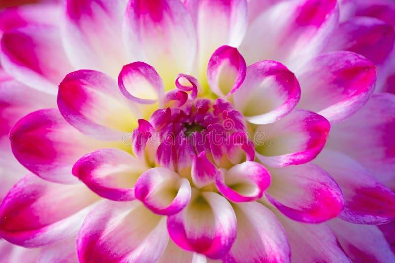 Kwiat dahlii fotografia stock